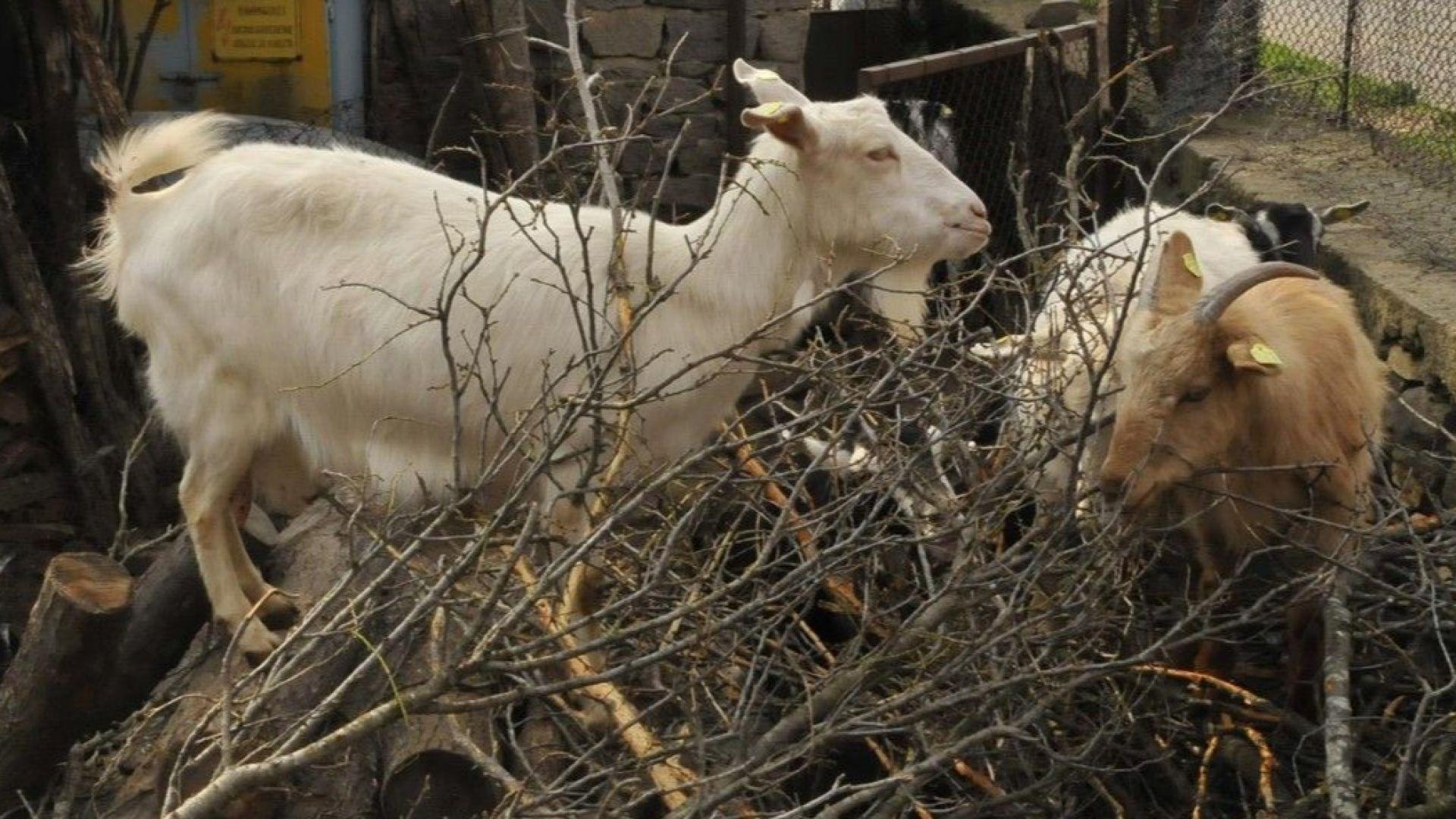 БАХБ настоява за умъртвяване на стадо в Странджа, протестиращи го бранят