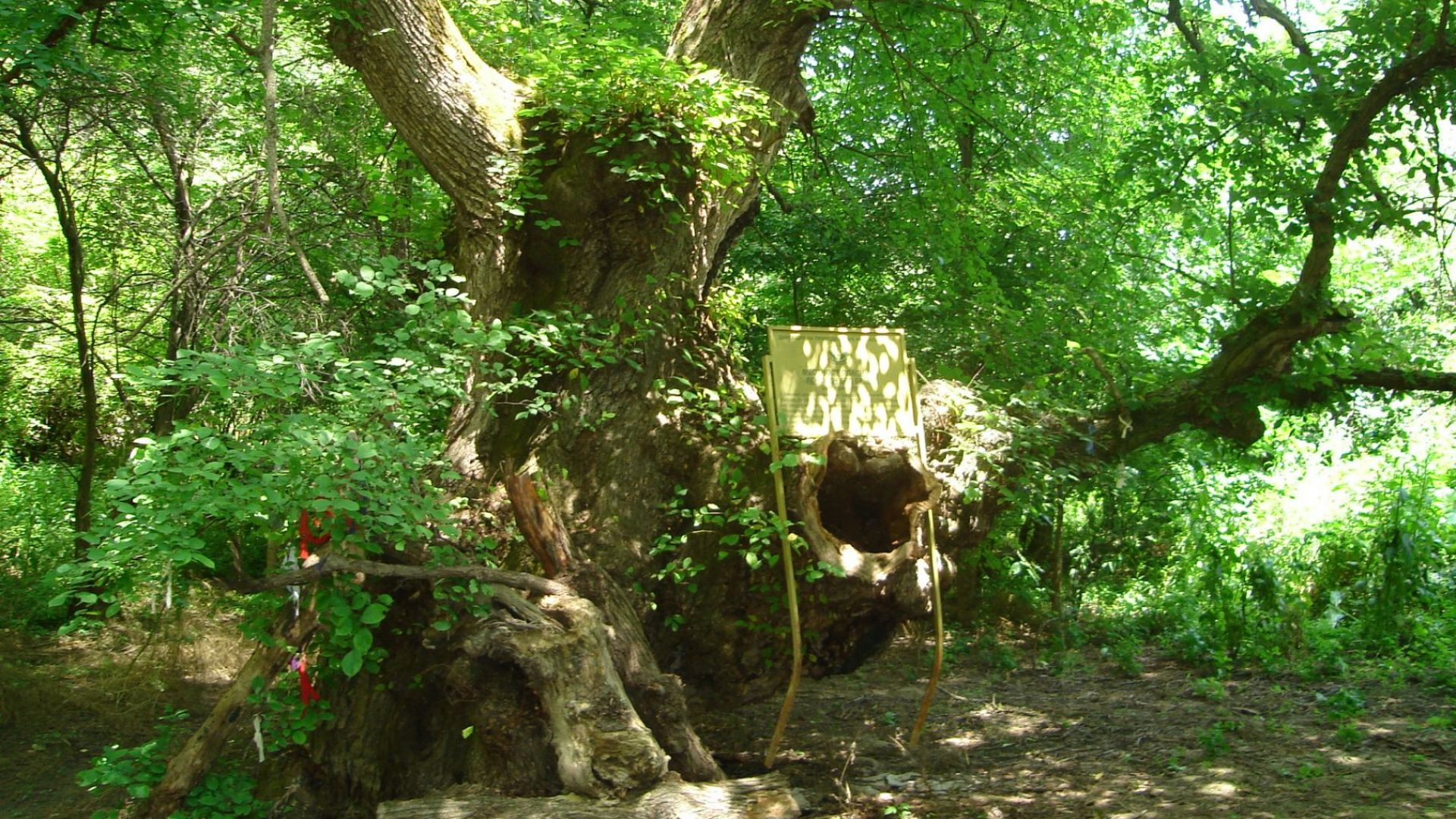 Край Русе има 78 защитени вековни дървета