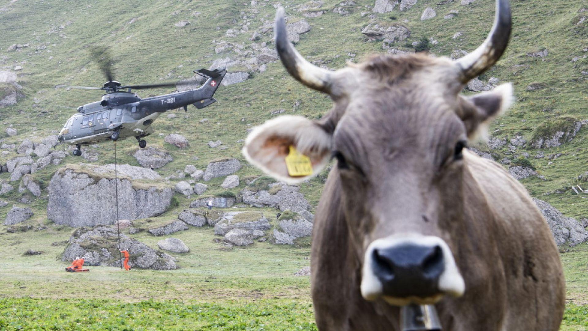 Хеликоптери носят вода на швейцарските крави в Алпите