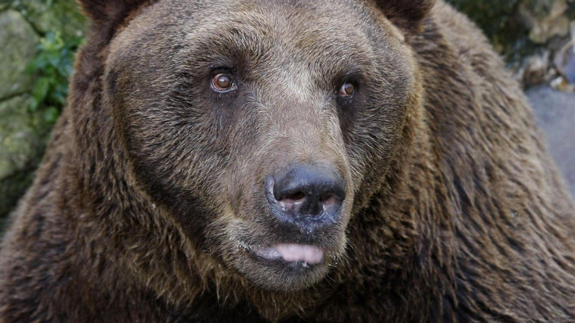 Кафява мечка беше спасена от бракониерски капан. Животното е било