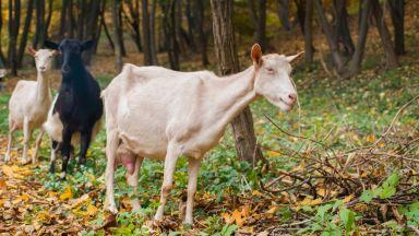 БСП поиска оставката на земеделския министър заради поръчката за тестове за чума по животните