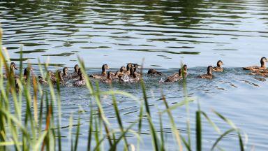 """60 патици вече плуват в езерото в """"Дружба"""""""