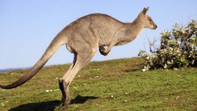 Кенгуру избяга от зоопарка в Сандански