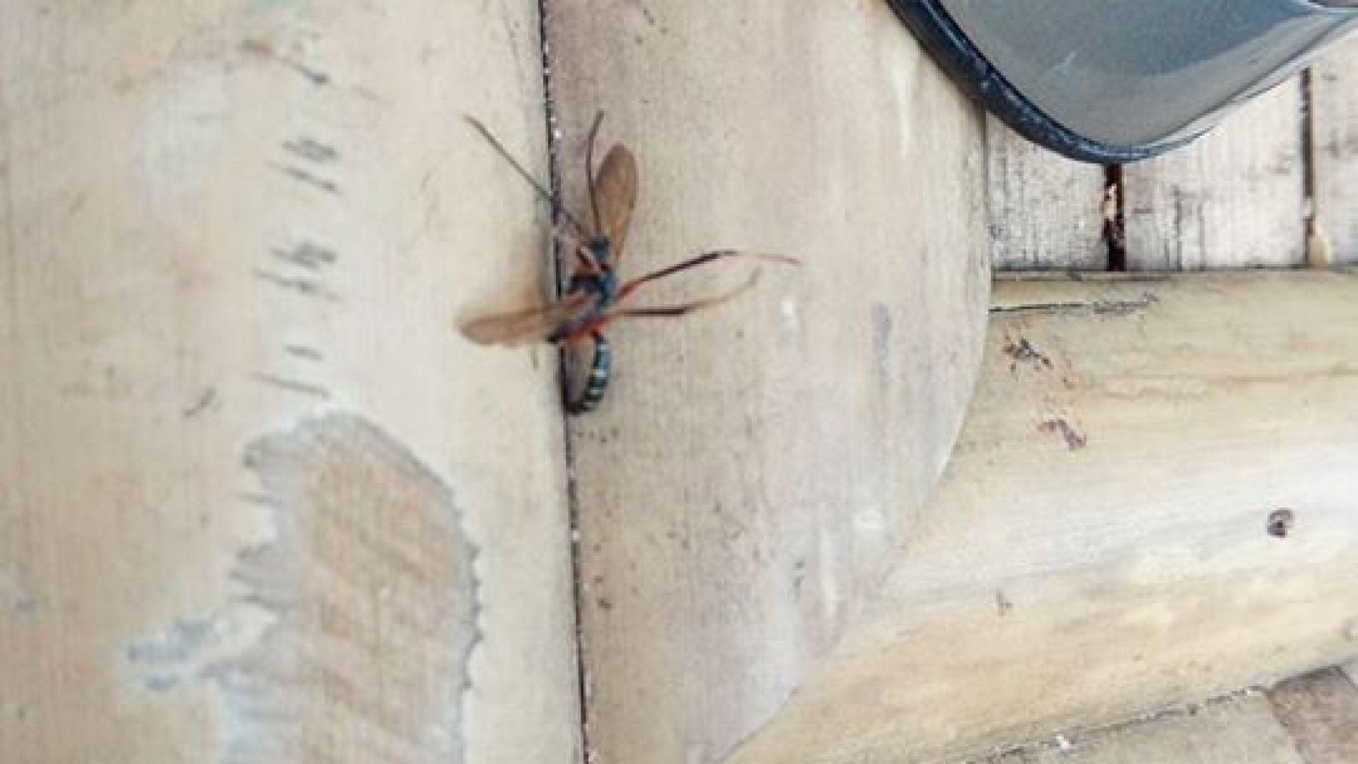 Тигров комар, сниман в близост до град Видин преди дни. В южна България този опасен вид е от години, вече е в цялата страна