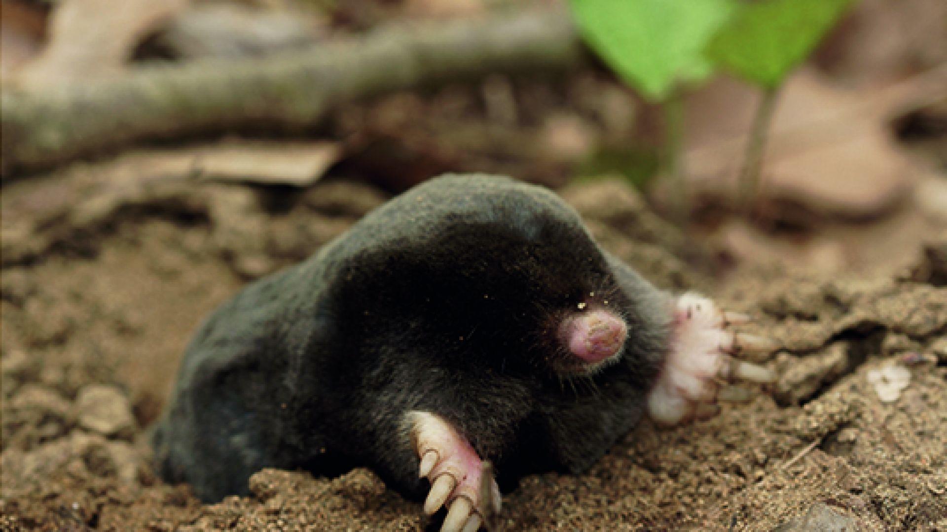 Нов вид бозайник за науката е открит в Странджа