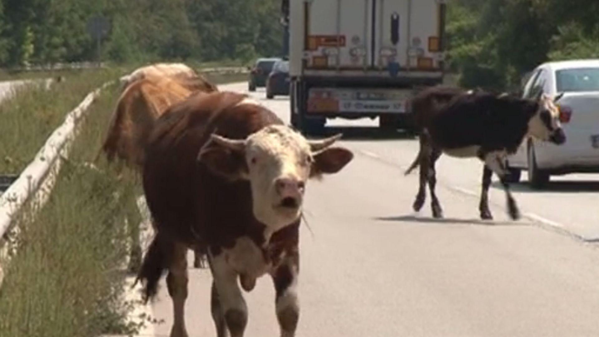 Крави подлудиха шофьори на Е-79 край Мездра