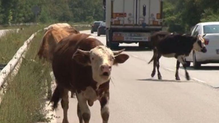 Серия от катастрофи заради крави, овце и прасета на път