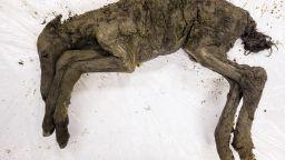 Откриха конче, замръзнало преди 30-40 000 г. в Сибир (галерия)