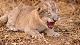 Родиха се първите лъвчета след изкуствено осеменяване (видео)