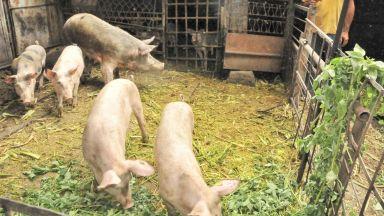 БАБХ: Нови шест огнища на Африканска чума при домашните свине в област Плевен