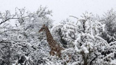 Сняг падна в Южна Африка, затрупа жирафи и слонове