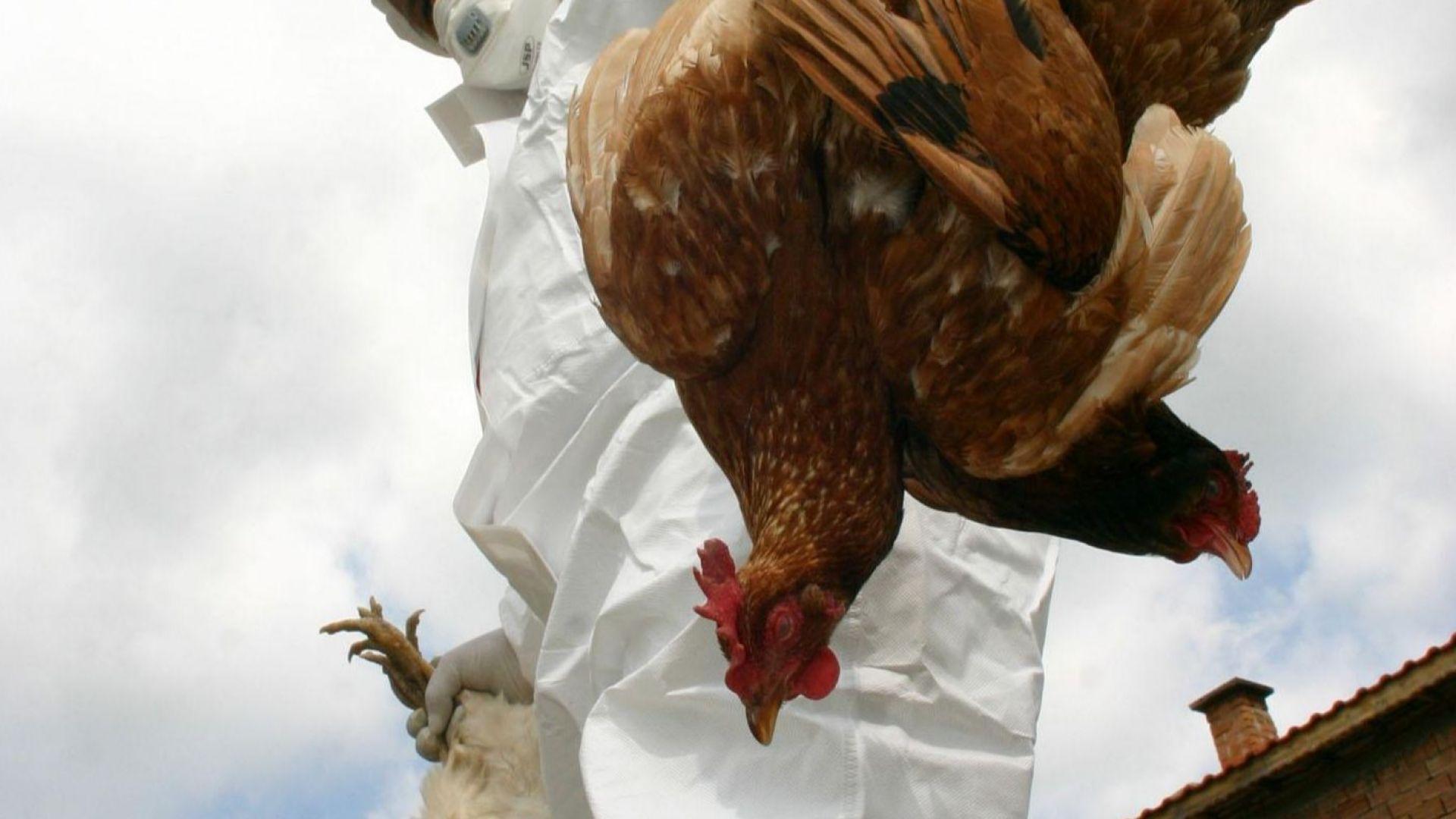 43 000 кокошки носачки от птицеферма в село Трилистник, община