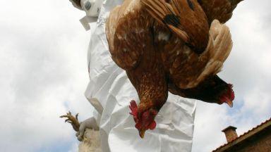 Птичи грип в Асеновград, умъртвяват десетки хиляди кокошки