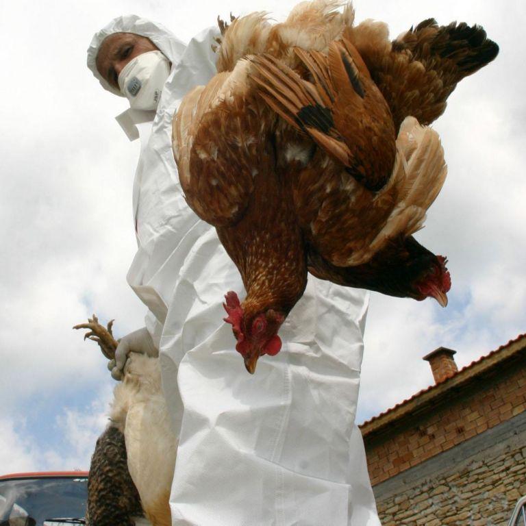 Хиляди кокошки в село Трилистник са болни от птичи грип