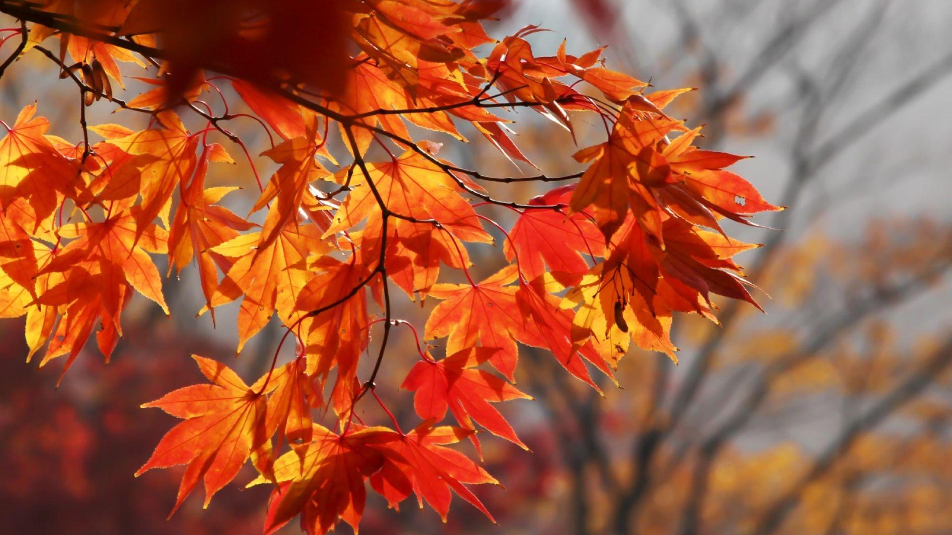 Защо и как пожълтяват есенните листа?