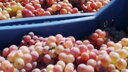 Кризата удари и реколтата от грозде, няма купувачи заради спрелия износ