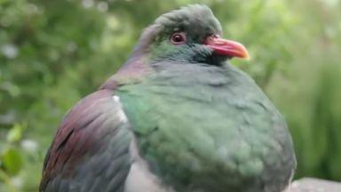 Гълъб със склонност към пиянство избран за Птица на годината в Нова Зеландия