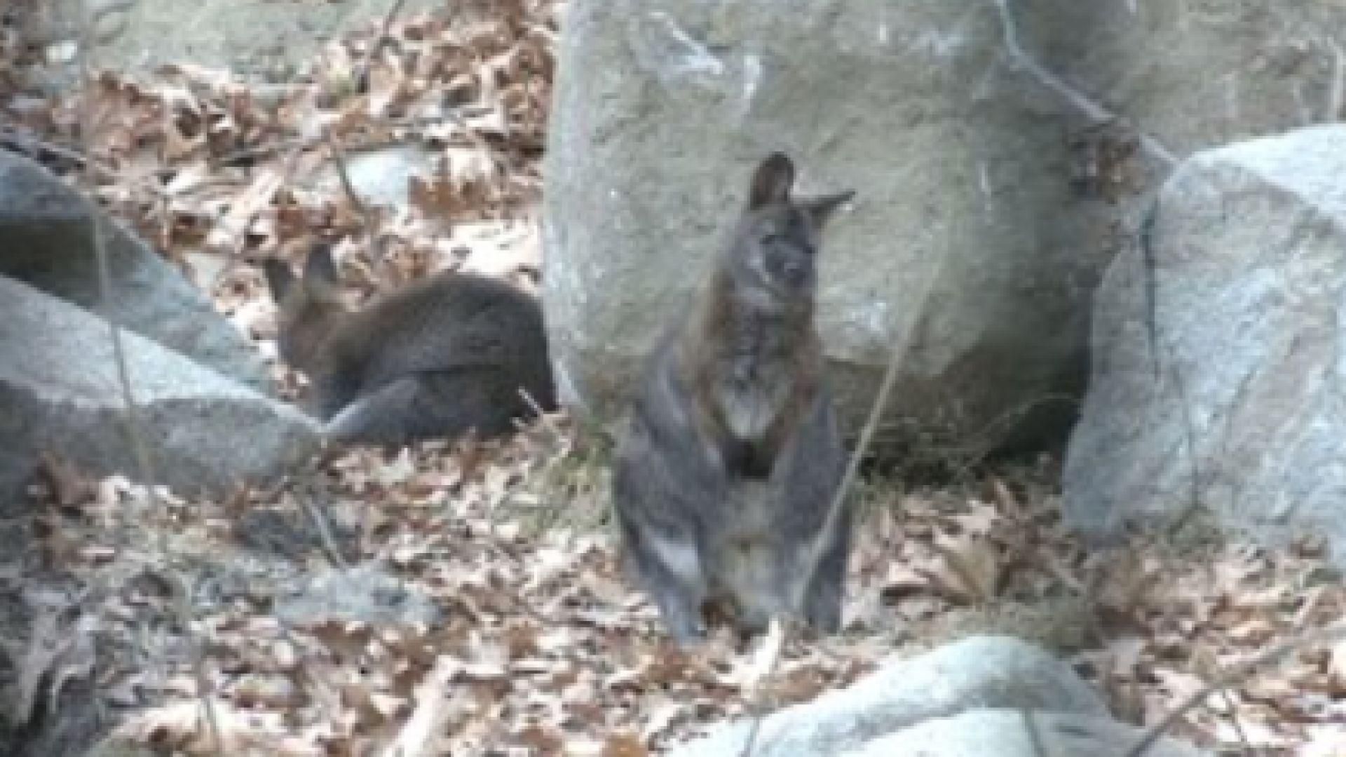 След 17 дни в неизвестност намериха избягалото кенгуру Кики