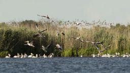 """В резервата """"Сребърна"""" отгледаха 100 млади пеликана"""