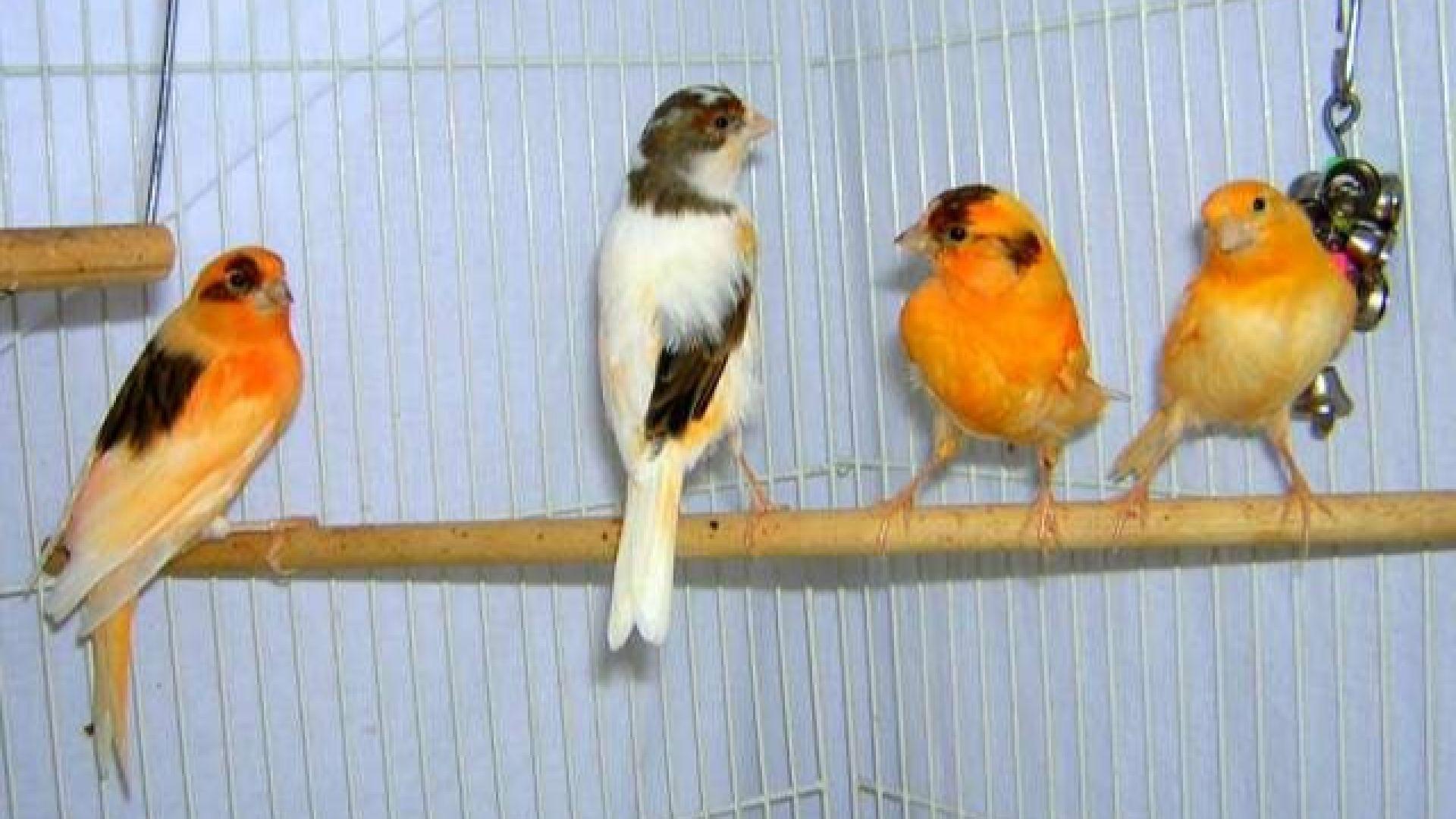 Уникална изложба с над 250 елитни канарчета в Бургас