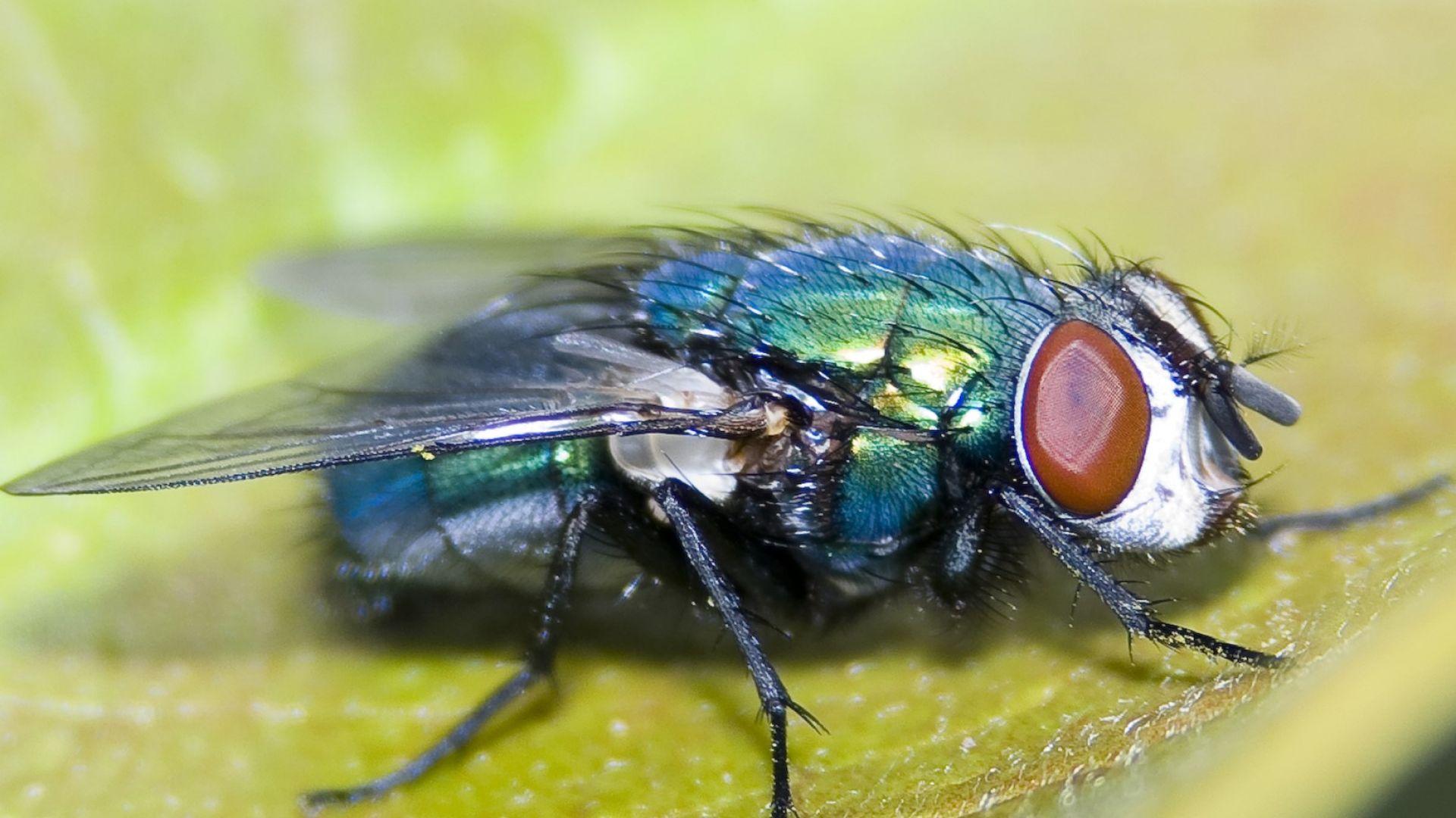 Нови видове мухи, вследствие на промяната на климата