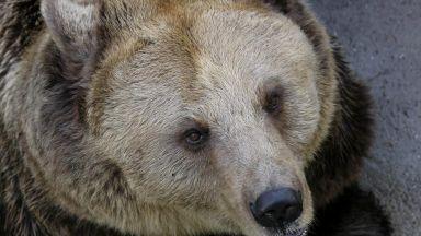 15 мечки бродят из Витоша