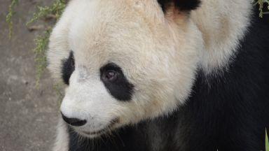 Дете падна при панди в зоопарк, вижте как го спасиха