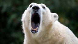 Женска полярна  мечка се разхожда в руски  град