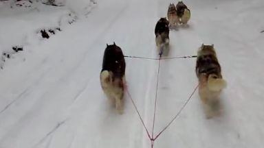 Кучешките впрягове ще могат да се движат по датските магистрали