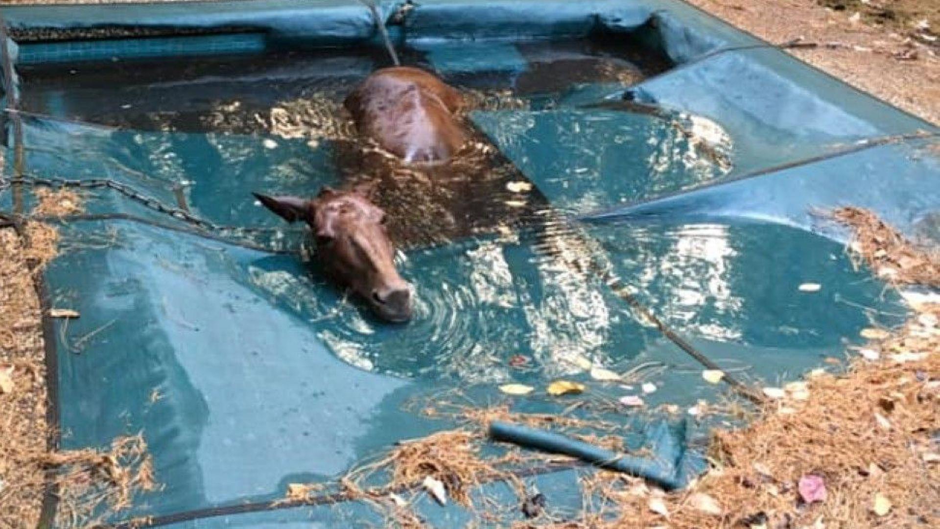 Стотици животни жертви на пожара в Калифорния, кон се спаси в басейн