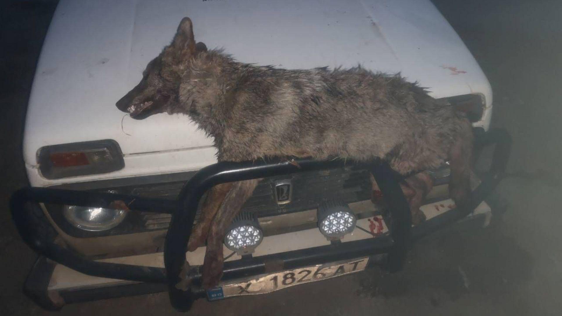 Застреляха два вълка и раниха един от глутница край свиленградско село