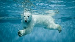 Популацията на белите мечки в Арктика  се  увеличавала