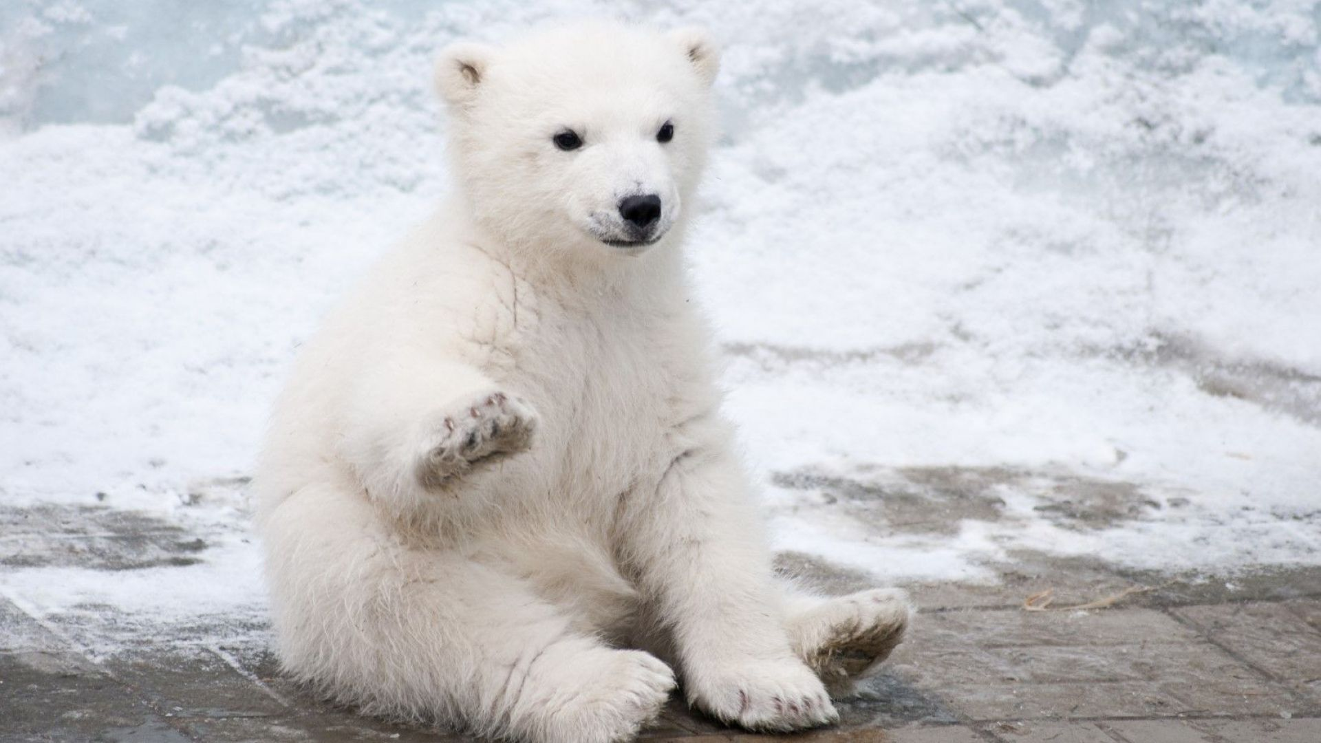 Глобалното затопляне ще убие една трета от белите мечки