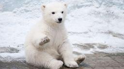 Бяла мечка се появи на 700 км от обичайния си хабитат