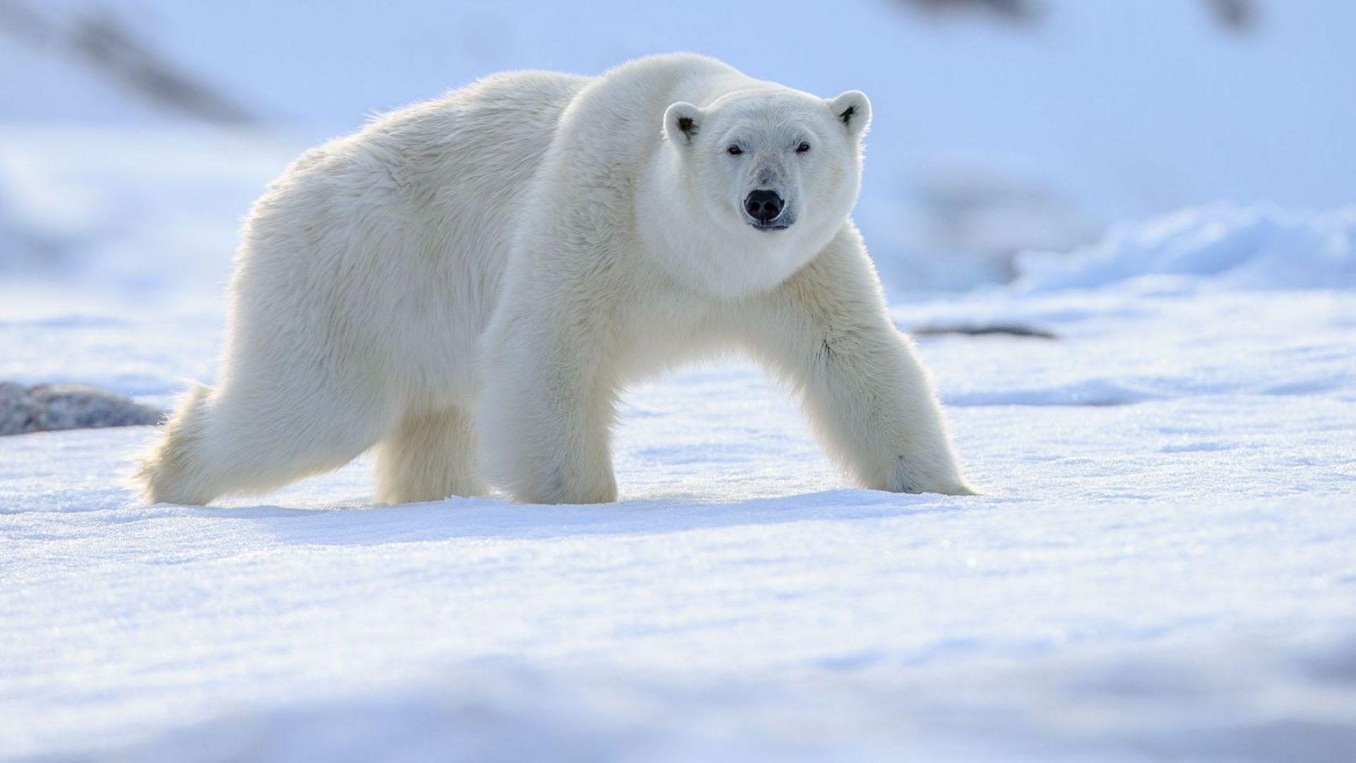 Русия въвежда правила за срещи с бели мечки в Арктика