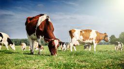 "Референдум за ""честта на швейцарските крави"""