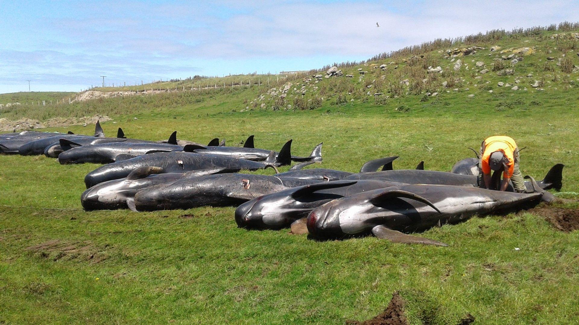 Още 50 кита умряха в Нова Зеландия