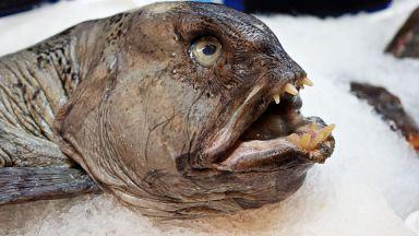 Замръзнала в леда риба докара до лудост гладна котка (видео)