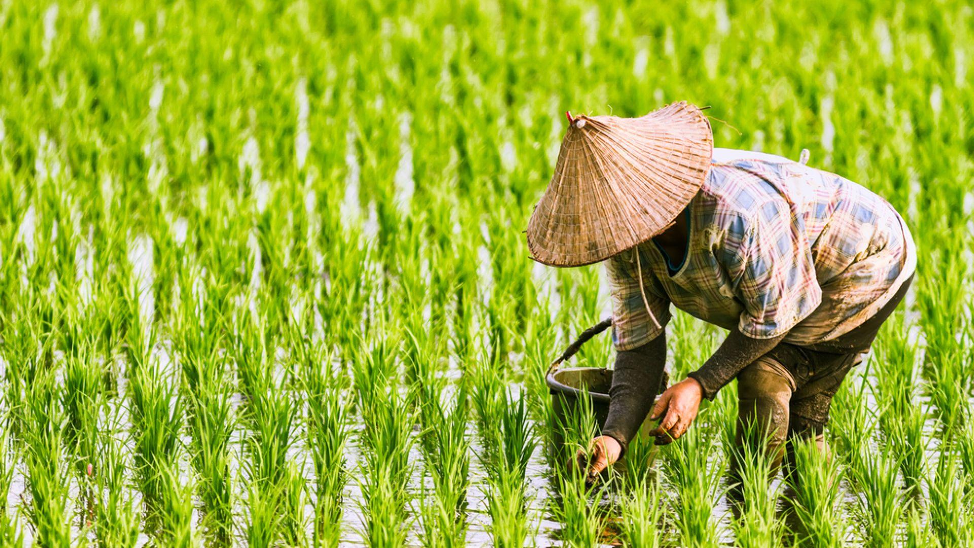 Пекин недоволен за подкрепата на СТО за САЩ за ориза и пшеницата