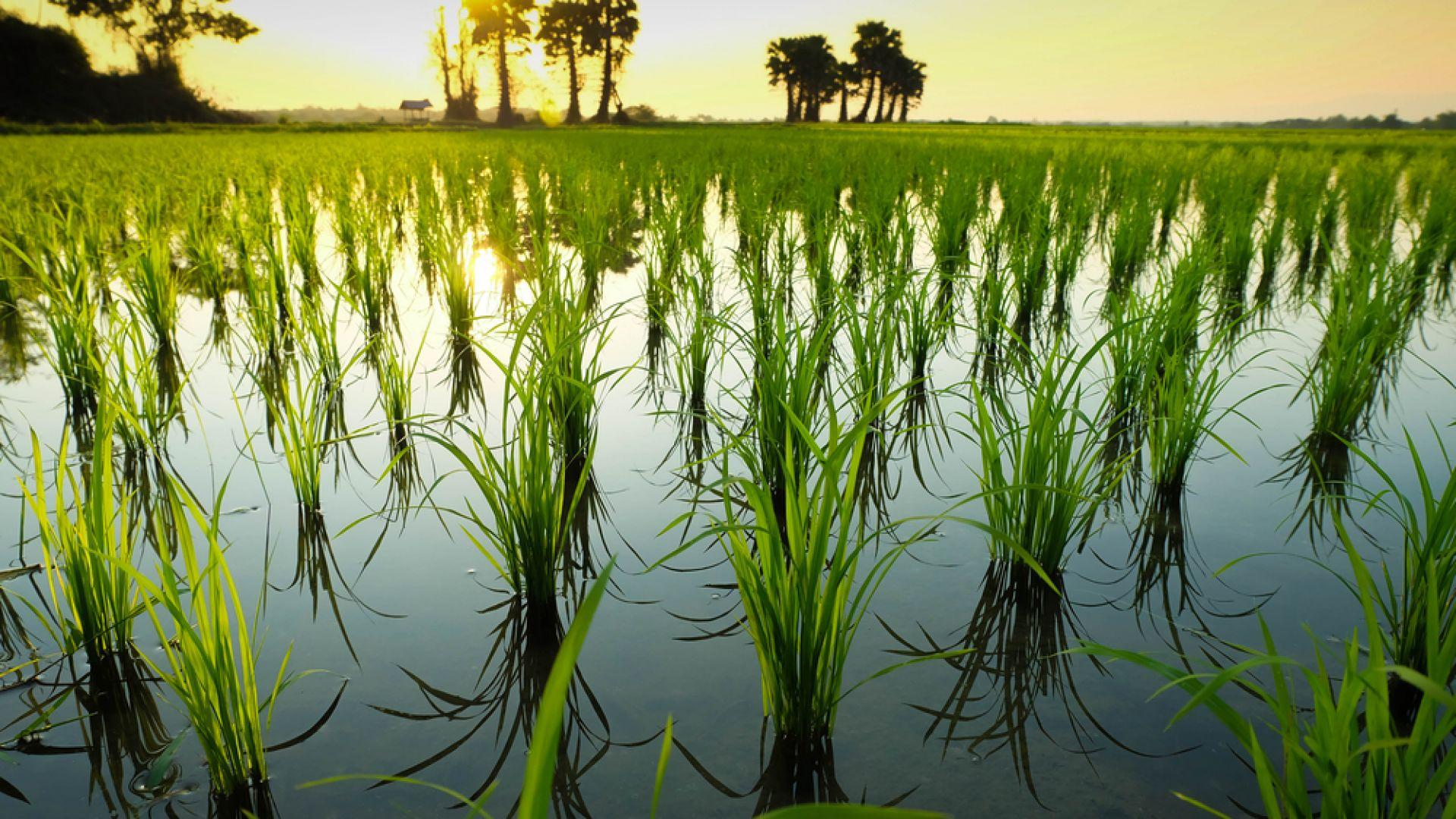 Оризът е виновен за една пета от глобалното затопляне