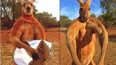 Отиде си културистът Роджър - най-силното кенгуру в света (видео)