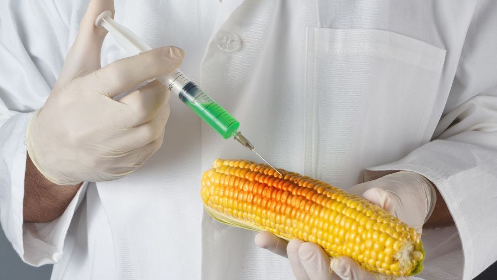 Учени твърдят, че ГМО царевицата не е вредна