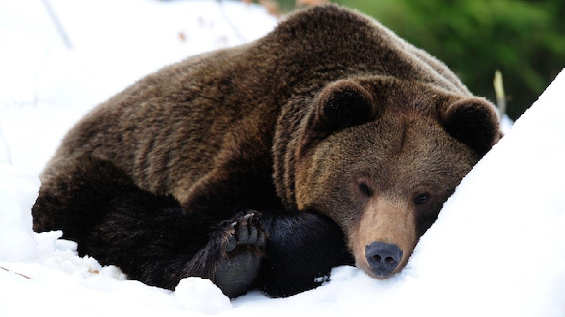 Военни ще охраняват мечка, заспала до свръхсекретен обект