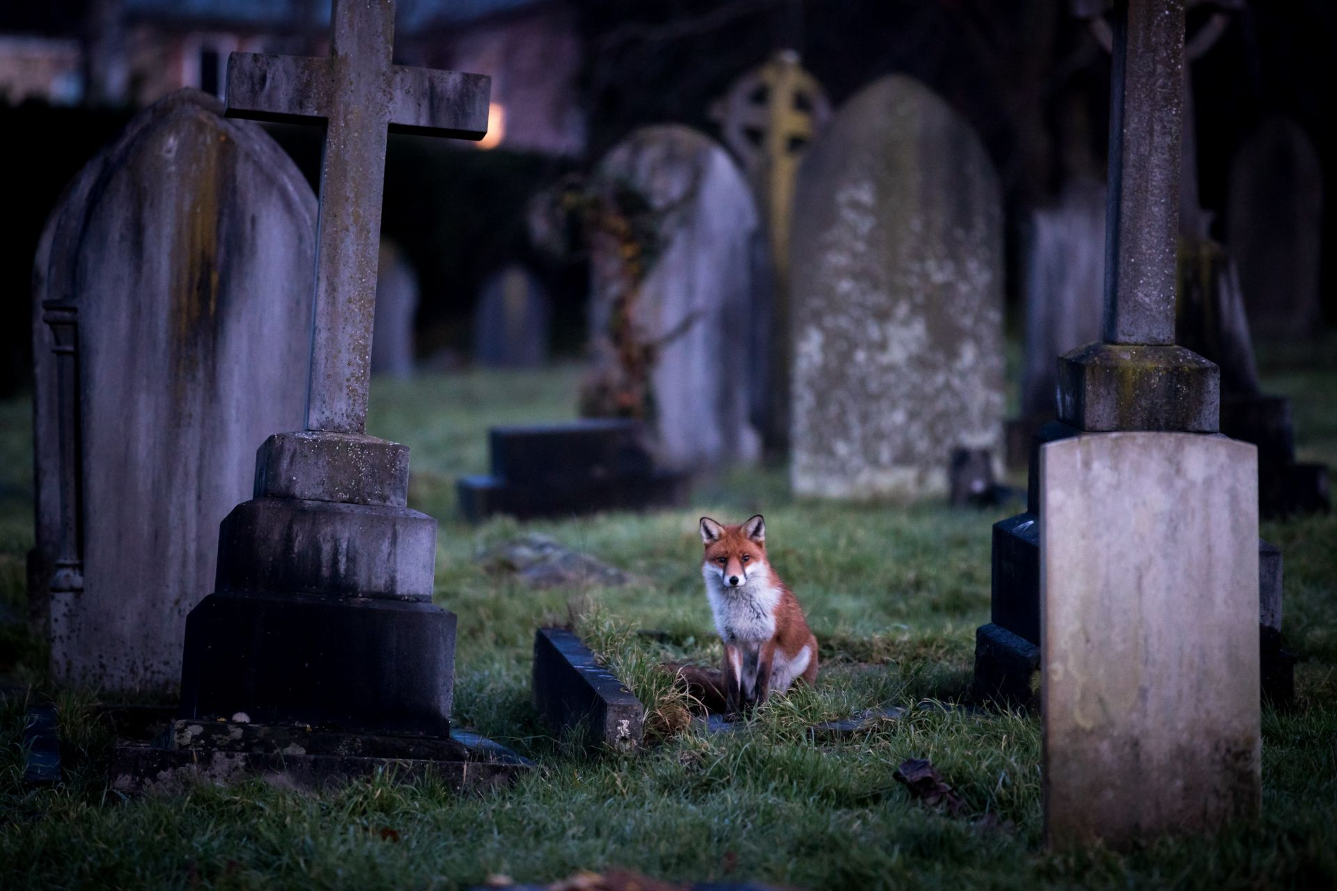 Януарска нощ. Лисица обикаля гробищния парк в английския град Бат
