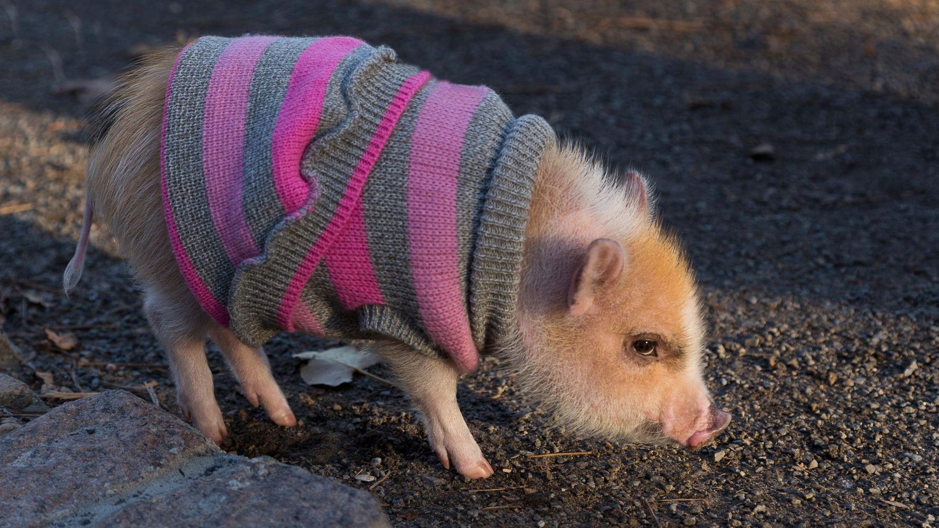Хит в Русия: Отглеждат мини прасета като домашни любимци