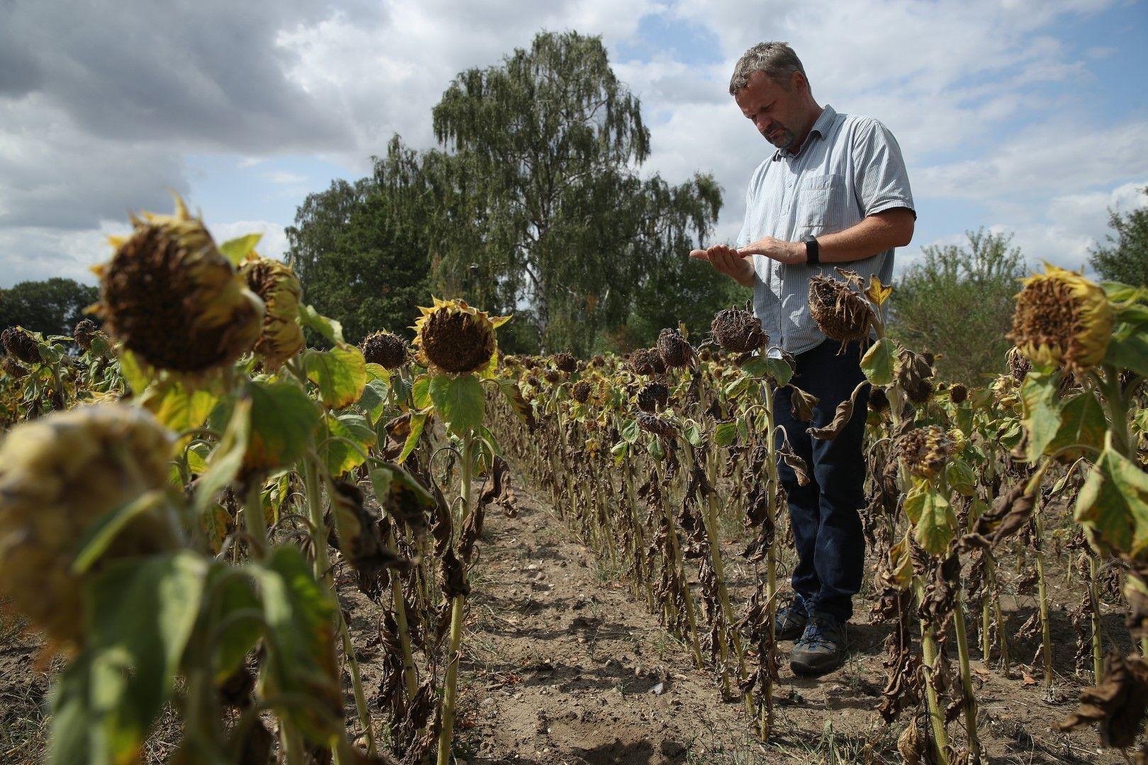 Слънчогледовата реколта в Германия е залиняла, германското правителство предостави помощи на фермерите