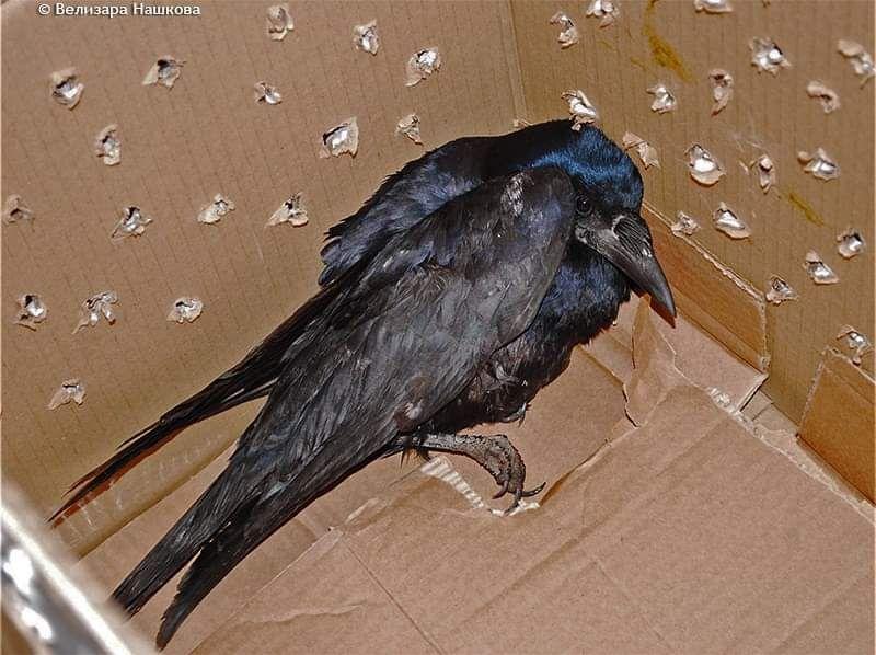 Тази врана е сред десетките пострадали в новогодишната нощ птици, с които град Плевен осъмна през 2013-а. Целите ужас, страх и безпомощност личат в погледа.