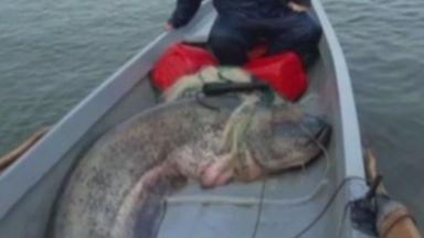 Рекорден улов в Русе: Рибари извадиха 138-килограмов сом