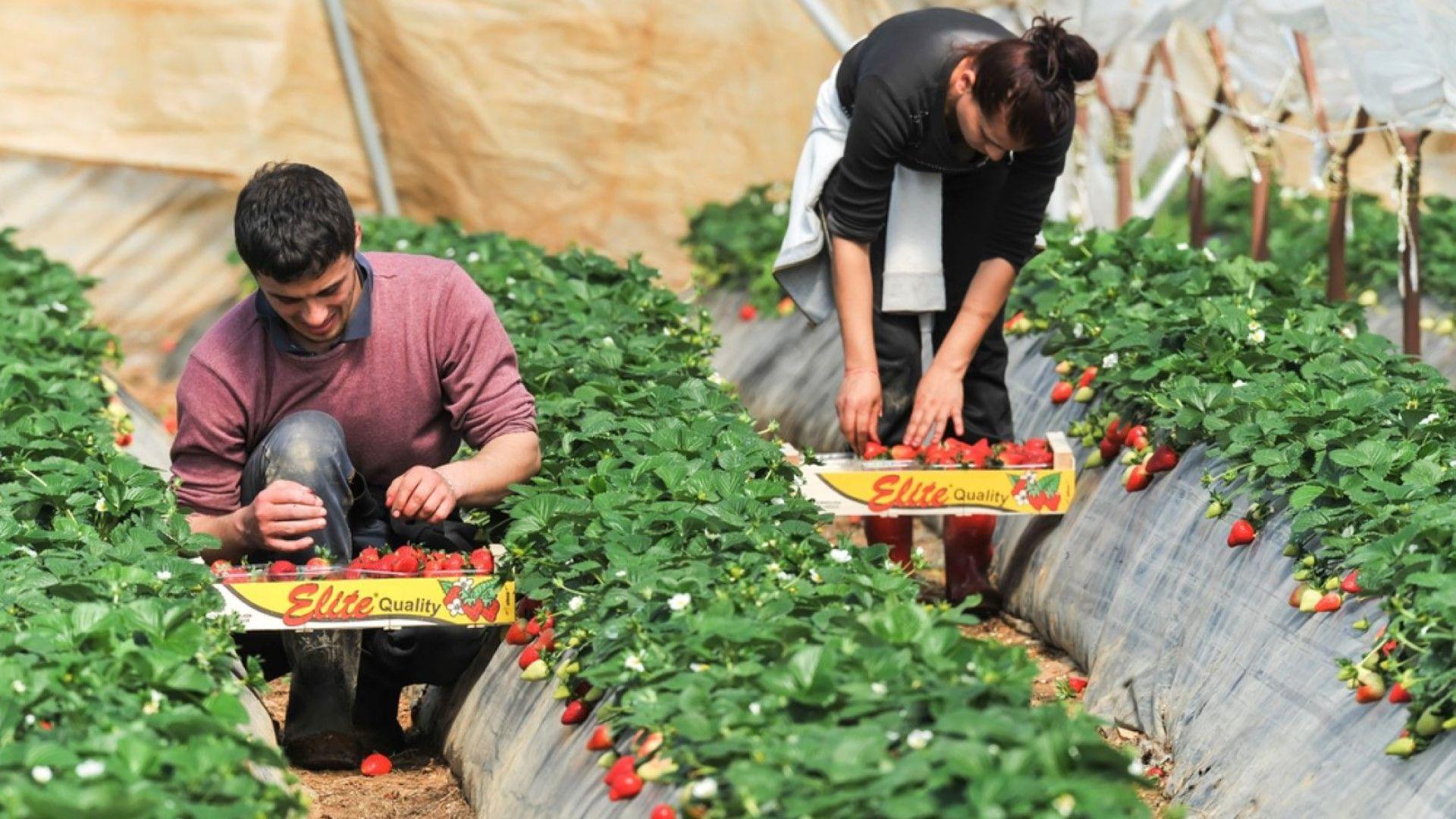 Над два пъти съкращават срока за визи на сезонни работници