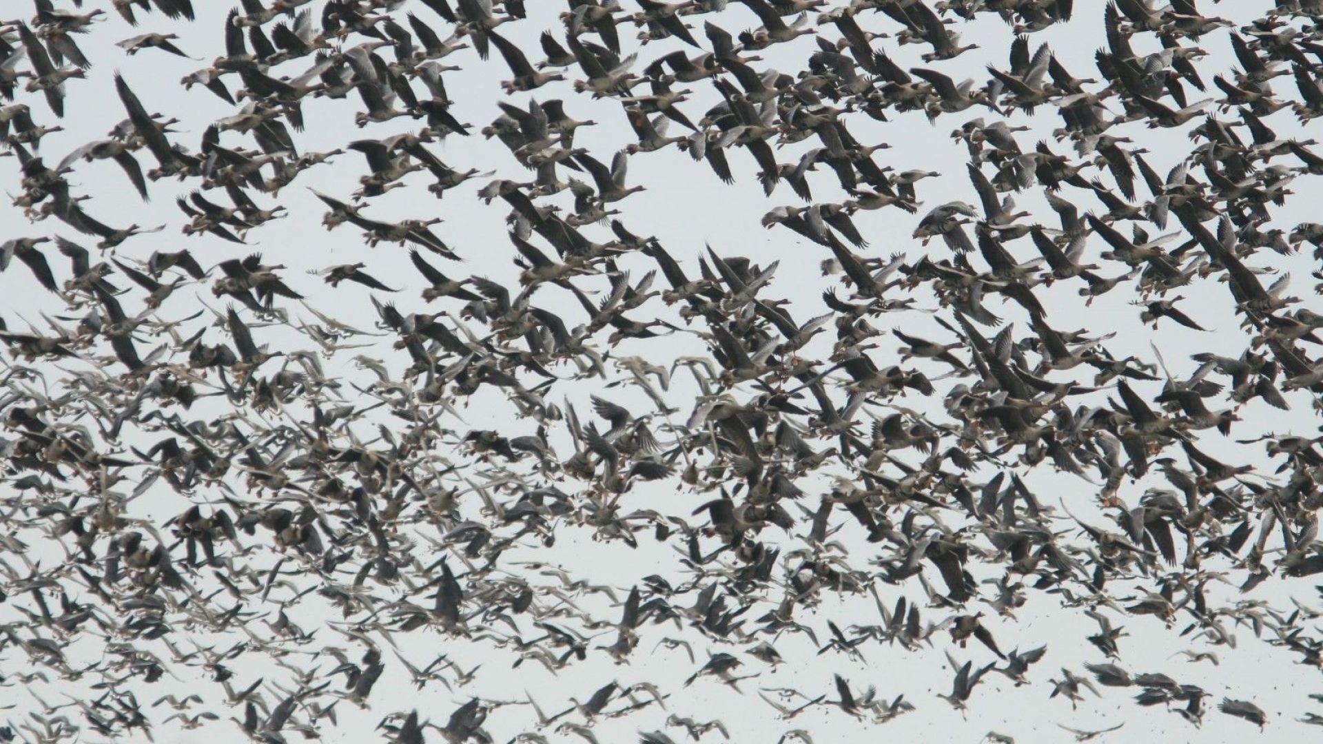 Започва броенето на зимуващите у нас и в цяла Европа водолюбиви птици